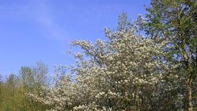 Witte Wilde Bloemen die met Jonge Bladeren bloeien Royalty-vrije Stock Foto's