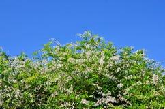 Witte wilde bloemen van wijnstokken op blauwe hemelachtergrond Stock Foto's