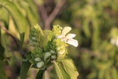 Witte wilde die bloem in de wildernis wordt gevonden royalty-vrije stock foto's