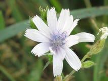 Witte Wildflower Royalty-vrije Stock Afbeeldingen