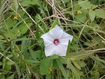 Witte Wildflower Stock Afbeelding