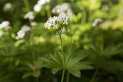 Witte wildflower van Galiumodoratum in bloei stock fotografie