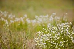 Witte wildflowers royalty-vrije stock afbeelding