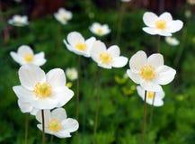 Witte wildflowers royalty-vrije stock foto