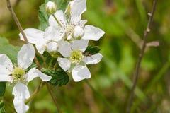 Witte wildflowers Stock Afbeeldingen