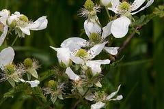 Witte wildflowers Stock Foto