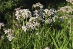 Witte wildflowers van Anise Pimpinella-anisum royalty-vrije stock afbeeldingen