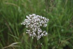 Witte wildflowers van Anise Pimpinella-anisum stock foto
