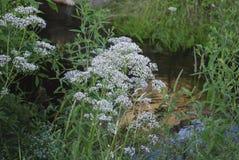 Witte wildflowers van Anise Pimpinella-anisum stock afbeeldingen