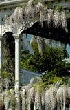 Witte Wisteria op Portiek royalty-vrije stock afbeelding