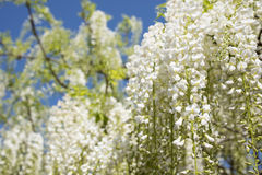 Witte wisteriabloemen Stock Foto's