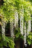 Witte wisteriabloemen Stock Afbeeldingen