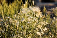 Witte Woestijnbloemen Stock Fotografie