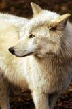 Witte Wolf Royalty-vrije Stock Afbeeldingen