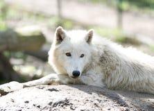 Witte wolf Stock Fotografie