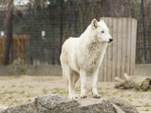 Witte Wolf Royalty-vrije Stock Foto