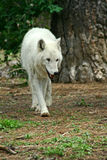 Witte Wolf Royalty-vrije Stock Afbeelding