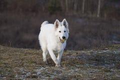 Witte wolf in de looppas royalty-vrije stock fotografie