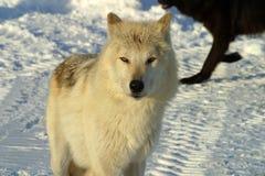 Witte wolf in de sneeuw Stock Afbeelding