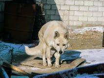 Witte wolfshond in de koude winter royalty-vrije stock foto