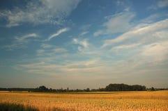 Witte wolken, blauwe hemel en het gele graan Stock Afbeelding