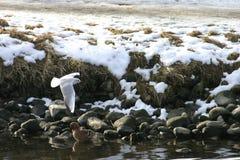 Witte zeemeeuw Royalty-vrije Stock Foto