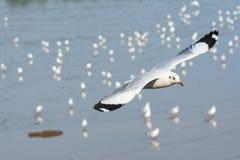 Witte zeemeeuw die alleen vliegen Stock Foto