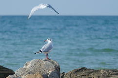 Witte zeemeeuw die langs de kust lopen Royalty-vrije Stock Afbeeldingen