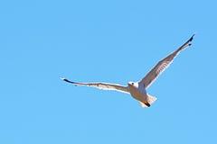 Witte zeemeeuw die op blauwe hemel vliegen Stock Fotografie