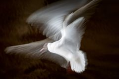 Witte zeemeeuw die zijn vleugels tijdens de vlucht op een donkere achtergrond in lange expositie, langzaam blind golven royalty-vrije stock afbeeldingen