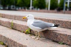 Witte zeemeeuw op de stappen van de granietstad Stock Foto