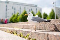 Witte zeemeeuw op de stappen van de granietstad Stock Fotografie