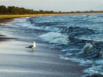 Witte zeemeeuw op een zandig strand Royalty-vrije Stock Foto's