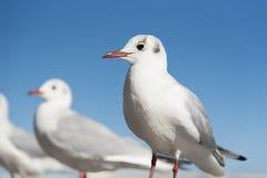 Witte Zeemeeuwvogels in zich oog het concentreren Stock Foto