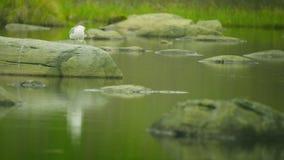 Witte zeemeeuwzitting op een steen bij het noordelijke meer stock video