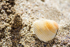 Witte zeeschelp in het zand Royalty-vrije Stock Afbeelding