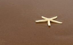 Witte Zeester op het Zand stock afbeeldingen