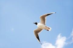 Witte zeevogel met zwart hoofd en vleugelpunten die en in de blauwe die lucht vliegen stijgen met wolken wordt gevuld Royalty-vrije Stock Foto's