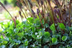 Witte zoete viooltjes en pioenspruiten Stock Foto