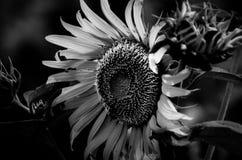 Witte zonnebloem Stock Afbeeldingen
