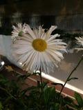 Witte zonnebloem!!! Stock Afbeelding