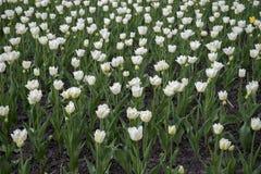 Witte zuivere tulpen op bloembed Stock Foto's