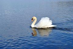 Witte zwaan. Royalty-vrije Stock Foto's
