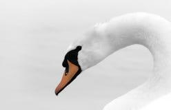 Witte zwaan Stock Afbeeldingen