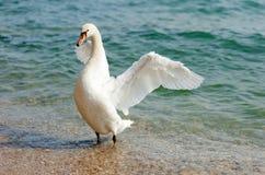 Witte zwaan Royalty-vrije Stock Foto's