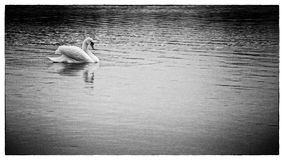 Witte zwaan royalty-vrije stock afbeelding
