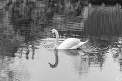 Witte zwaan Royalty-vrije Stock Foto