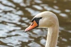 Witte zwaan Royalty-vrije Stock Afbeeldingen
