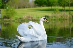 Witte zwaan royalty-vrije stock fotografie