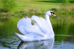 Witte zwaan stock foto's